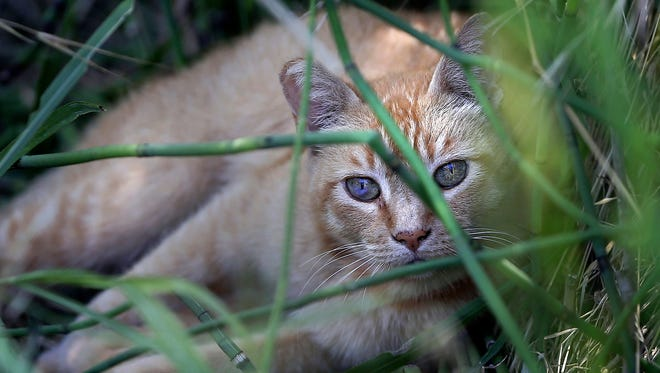 A feral cat lies in reeds July 19, 2016, next to a body of water in Hart Park in Bakersfield, Calif. The Western Governors Association considers feral cats the 13th worst invasive species on land in its first region-wide list of worst invasive species on land and in water that was released March 15, 2018.
