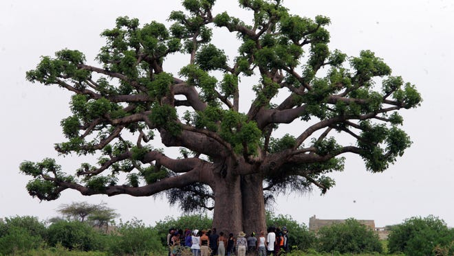 Students gather around a baobab tree in 2007 to pray in Toubab Dialaw, Senegal. Africa's most iconic trees are dying off, and scientists suspect climate change.