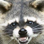 Rabid raccoon bites man near Rehoboth Beach; officials warn community