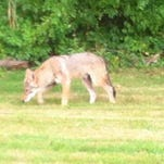 The number of coyotes living — and thriving — in suburban New Jersey continues to rise.