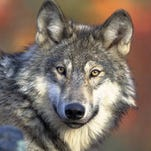 Letter: Coexist with wolves, don't hunt them