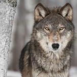 Letter: Take wolves off endangered species list
