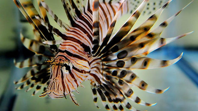 The Florida Fish and Wildlife Conservation Commission moved forward this week with the proposed ban and several other measures to tame the lionfish invasion.