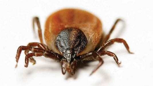 Entomologist Kelly Loftin said any tick found on the body should be promptly removed by using tweezers, pulling upward with a steady pressure.