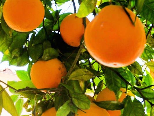 636277346851580713-oranges.JPG