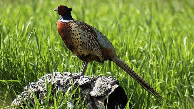 Minnesota pheasant numbers fell 17% from a year ago, according to roadside counts completed by the Department of Natural Resources.