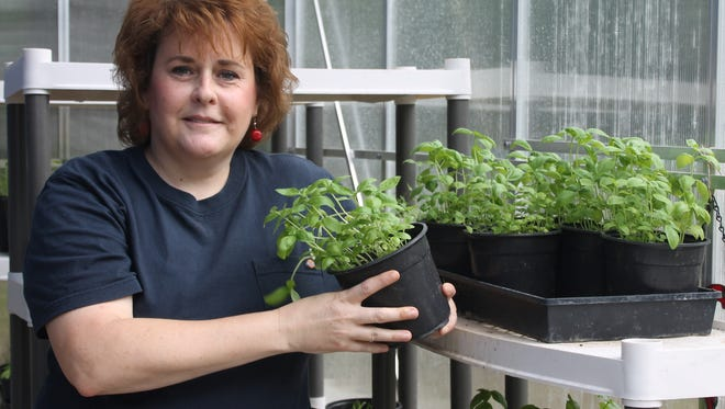 Caroline King starts heirloom plants, like this basil, from seeds in her greenhouse.