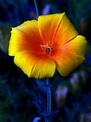 An yellow and orange poppie is in full bloom. The Tallahassee