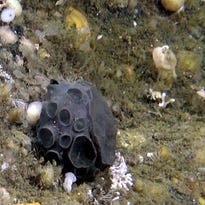 Could green sponge found near Alaska hold key to curing pancreatic cancer?