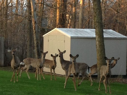 Backyard Deer.jpg