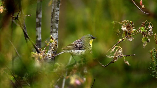 Forest management is a critically component of wildlife conservation, especially for species like the Kirtland's warbler.