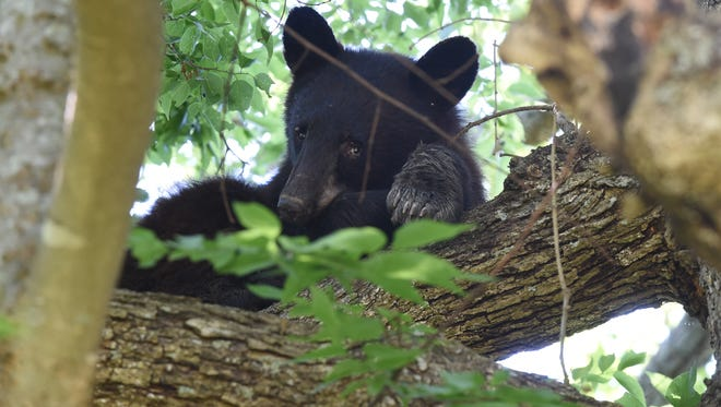 A juvenile Black Bear looks at a crowd of humans below his perch in a tree two years ago. The bear was spotted by residents off Panoramic Lane in rural Mountain Home.