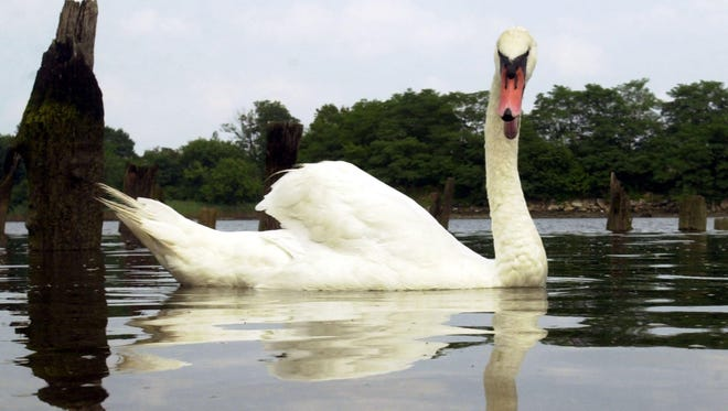 A mute swan swims in the waters near Glen Island Park in New Rochelle.