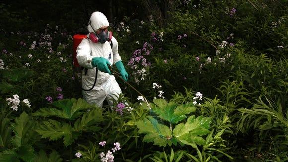 Giant hogweed eradication, 2010