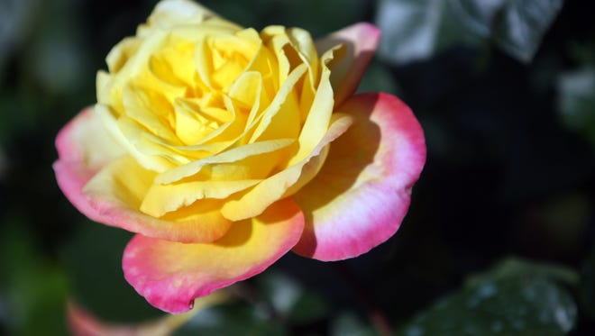 Master Gardener offers tips on pruning various types of roses.
