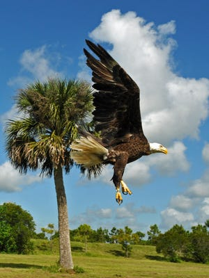 A bald eagle was once a rare sight in the wild. This eagle was released by the Audubon Center for Birds of Prey, who brought Charlie, their 500th Bald Eagle to be released, to the Ritch Grissom Memorial Wetlands in Viera, on Thursday morning, May 14, 2015.