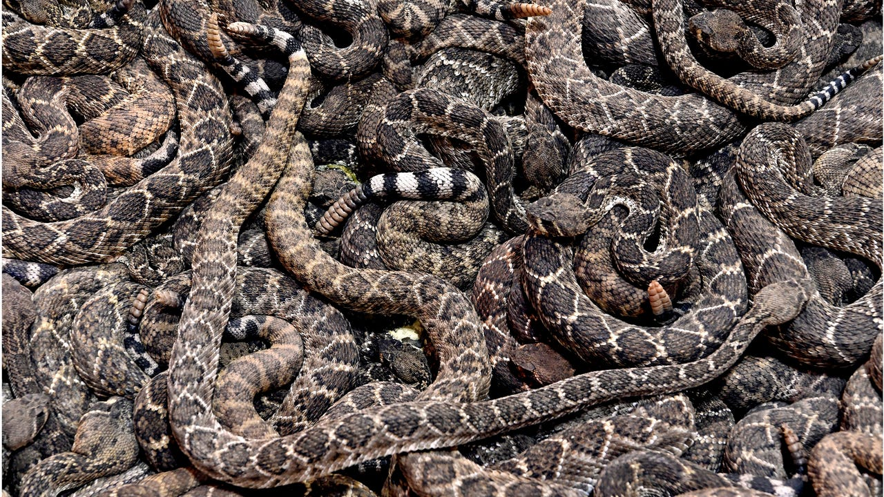 Sweetwater, Texas has held its World's Largest Rattlesnake Roundup for sixty years. Originally conceived as a way to rid the city of a deadly pest, the Sweetwater Jaycees now emphasize it as an educational, family-oriented event.