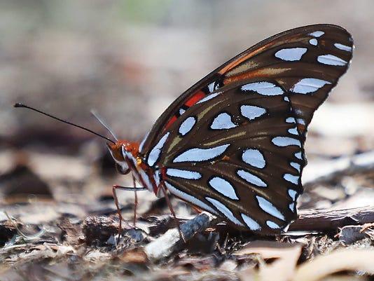 636671012666963805-butterfly039.JPG