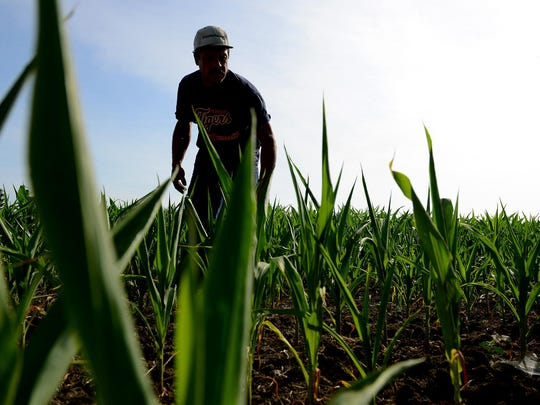 Bob Gardner examines a friend's corn field to show signs of drought stress on July 7 near Holt.