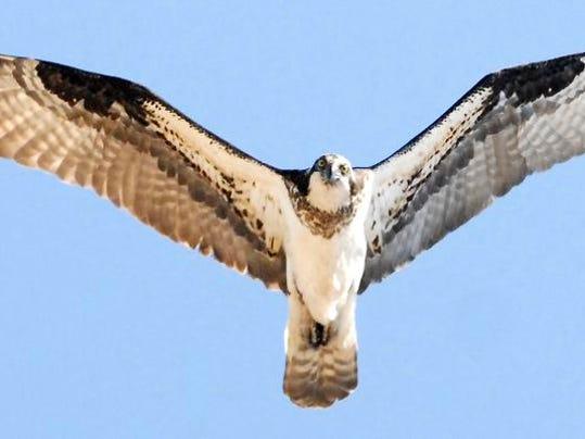 DFP 0814_ospreys_.jpg