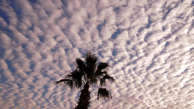 A lone palm tree stretches out against a cloud-quilted sky in this photo by Pat Alsup, which was taken at Golden Vista Resort in Apache Junction. This string like cotton ball sky was the perfect background for a palm tree. Taken at Golden Vista Resort in Apache Junction.  Pat Alsup