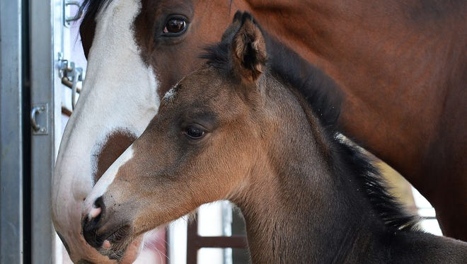 A horse and her foal spend time outside at Colorado State University's Equine Reproduction Laboratory in Fort Collins in this file photo.