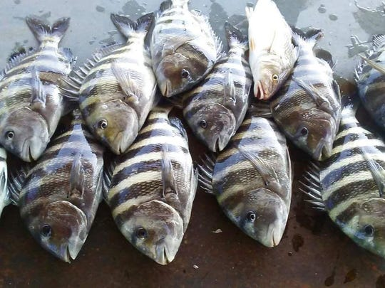 Mark Mathews and family of Jensen Beach fished with Capt. Mark Dravo of Y-B Normal charters in Fort Pierce to catch and bunch of sheepshead.