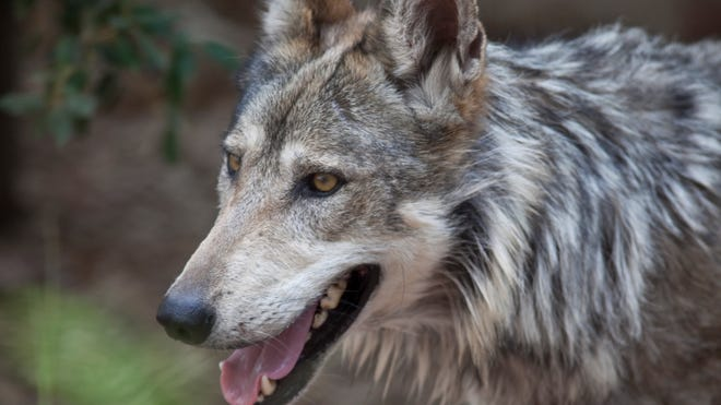 In 2011, at least 58 Mexican gray wolves were counted by biologists in the survey conducted by the U.S. Fish and Wildlife Service and the Arizona Game and Fish Department.