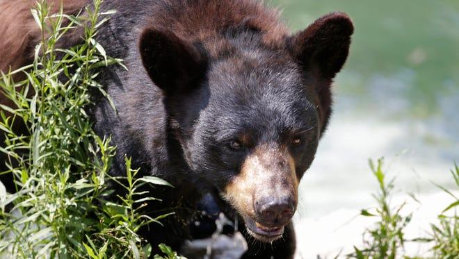 FILE - A black bear seen in Maine.