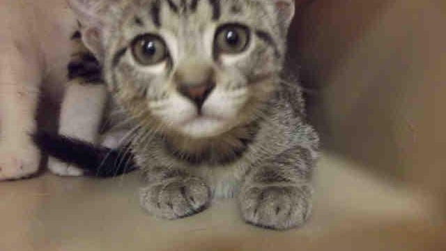 Gretel is a 3-month-old spayed female tabby, ID 155028.