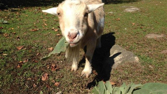 Daisy, a dwarf Nigerian goat, offered many life lessons for the author.