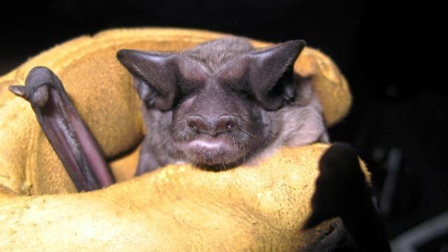 This bonneted bat was captured in Picayune Strand State Forest in eastern Collier County in December 2009. (FWC photo)