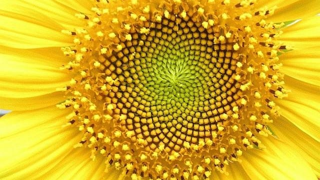 This sunflower has an spirally-arranged disk.
