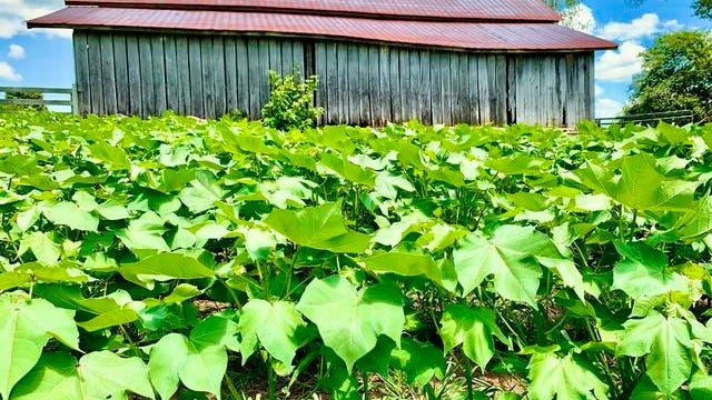 The first crop of cotton at Rippavilla Plantation in more than 100 years begins to sprout, and will be cultivated in partnership between Rippavilla Inc. and Farm Bureau's Young Farmers & Ranchers program.