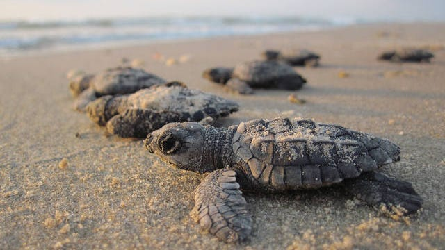 Oriented to the sun, newly hatched Kemp's ridley sea turtles crawl to the Gulf of Mexico. National Park Service Photo/TNS