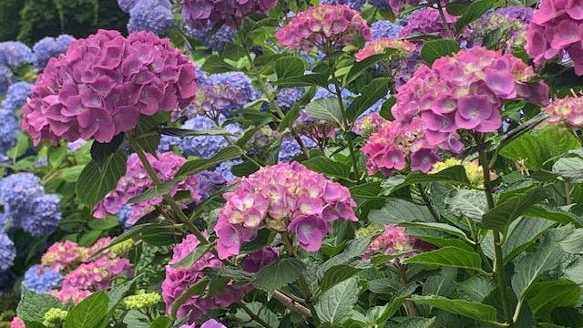 Pops of pink and purple join the blue blooms blanketing these hydrangea bushes.
