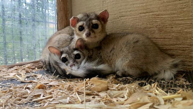 Pixie and Pippin are Pueblo Zoo's official ringtail cat residents.