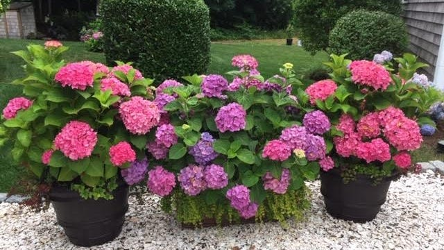 Linda Coven, co-president of Cape Cod Hydrangea Society, has 20 planters with hydrangeas in her garden, as well as 200 hydrangea bushes.