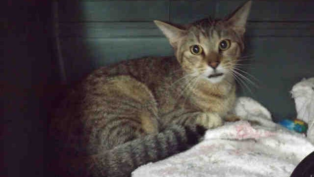 Take home Toby, ID A151044, a neutered brown tabby feline about 1 year old.