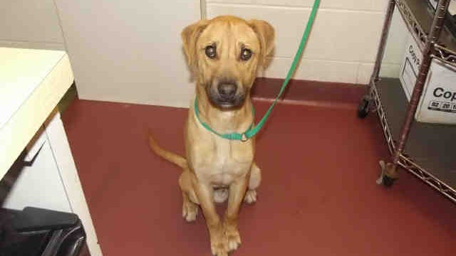 William, ID A152285, is a 9-month-old neutered male Anatolian shepherd.