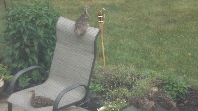 Charles Nadell submitted this photo of baby turkeys on his backyard patio in Wappingers Falls. Do you have a nature photo to share? Send it to dradwin@poughkeepsiejournal.com