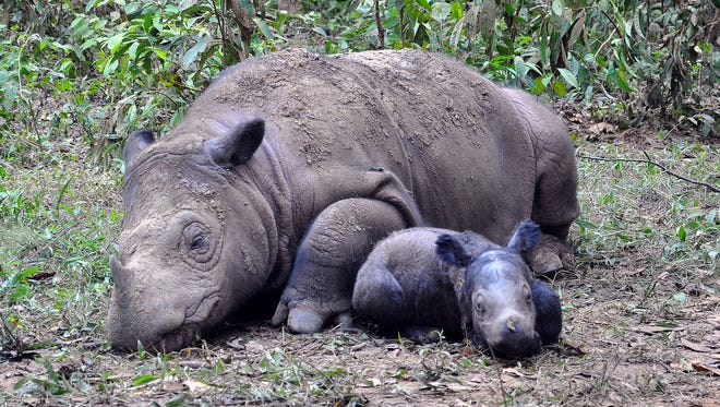 Here is a picture of Andalas' first calf born in captivity to mother Ratu. It was the first Sumatran rhino ever born in captivity in Indonesia, but will hopefully be joined by a sibling.