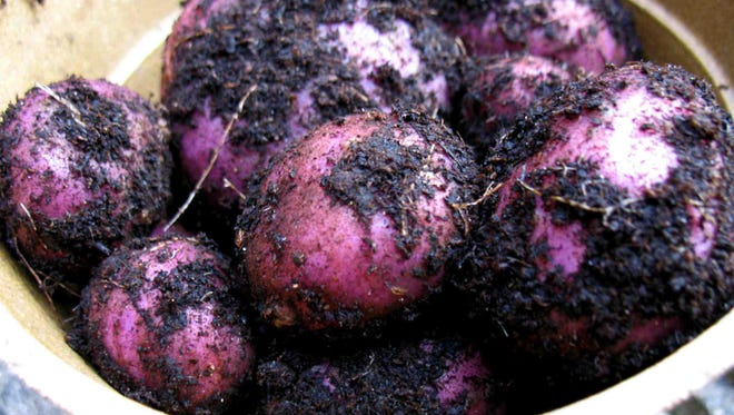 Three types of potatoes can be used for planting: early season, mid-season and late season. Each can grow from planting to harvest at about 75 to 90 days, 95 to 110 days and 120 to 135 days, respectively.