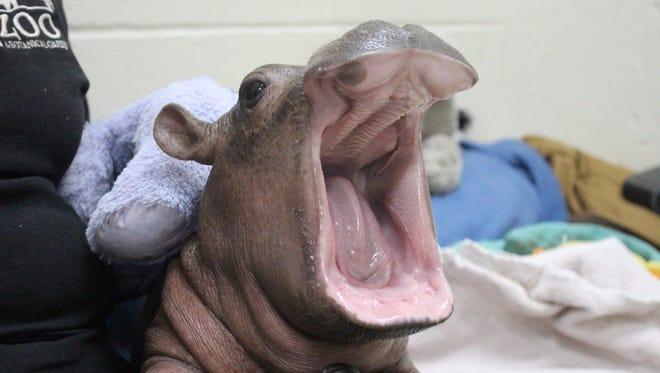 The Cincinnati Zoo & Botanical Garden's baby hippo Fiona, in all her glory.