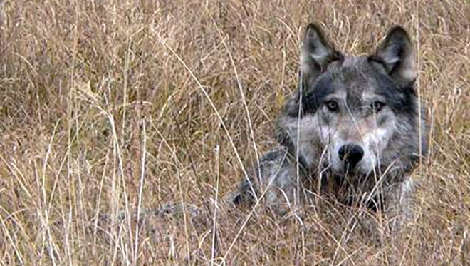 A hunter who took a shot at a gray wolf after being virtually surrounded by a pack in northeastern Washington on Oct. 30 has been cleared of any wrongdoing by Washington Fish and Wildlife police who investigated the incident.