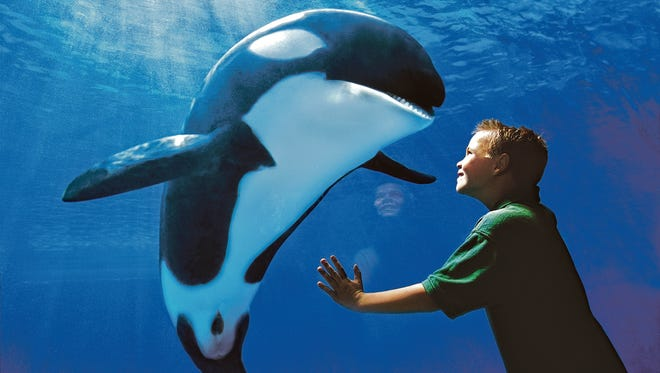 A boy looking at a killer whale at SeaWorld.