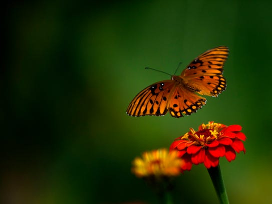 A butterfly flies from flower to flower at Dream Field