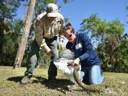 "Lacey Castonguay (right), a St. Lucie County Animal Control officer, captures a Burmese python and secures the snake in a cloth bag under the direction of instructor Edward Mercer, of the Florida Fish and Wildlife Conservation Commission, during the commission's Python Patrol training workshop March 13, 2018, at the Richard E. Becker Preserve in Fort Pierce. Held in partnership with the St. Lucie County Environmental Resources Department, participants in the workshop learned how to identify a Burmese python and proper techniques to safely capture the snakes out in the field. ""When you are conserving our environment hoping to protect all wildlife, you're hoping to protect other people and protect him (the python),"" Castonguay said. ""I don't want anyone to behead him; he's not hurting anybody. It's easier just to save him than to kill him."""
