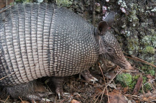 Watch How to Get Rid of Armadillos video
