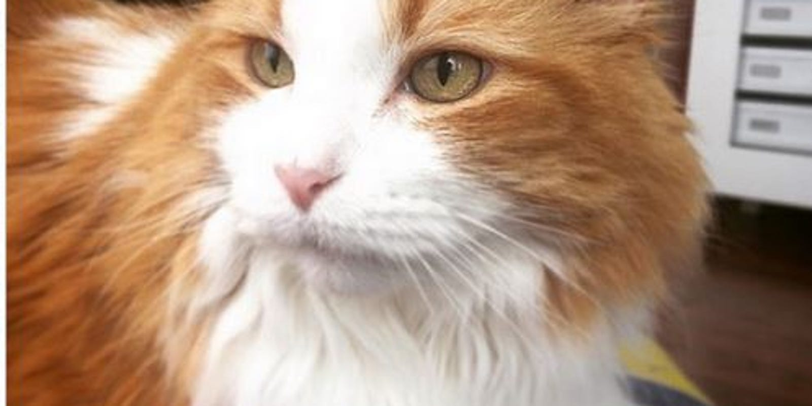 Concorso Design Your Cat : Trumpyourcat design cat s hair to copy donald trump